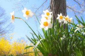 daffodils-684225_960_720 (1)